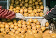 """صورة """"حرب الكيوي"""".. الفاكهة الذهبية تشعل نزاعا دوليا"""